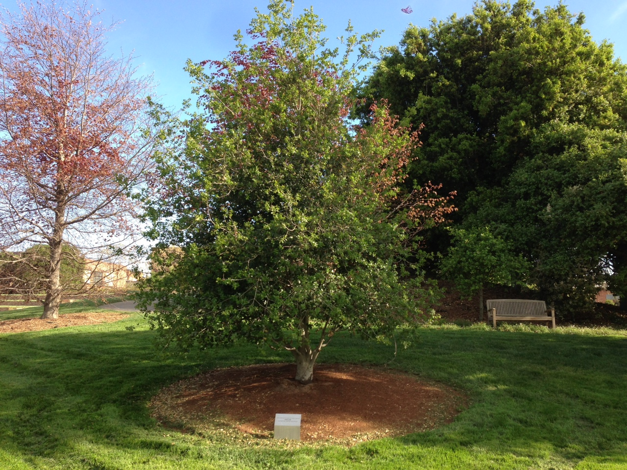 Tree On Pixar Campus Dedicated To Steve Jobs